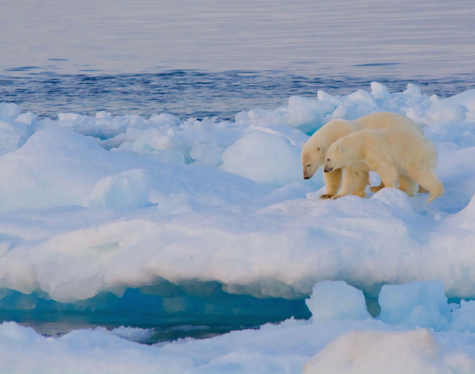 polar-bear-and-cub-ice-floe-adventure-canada