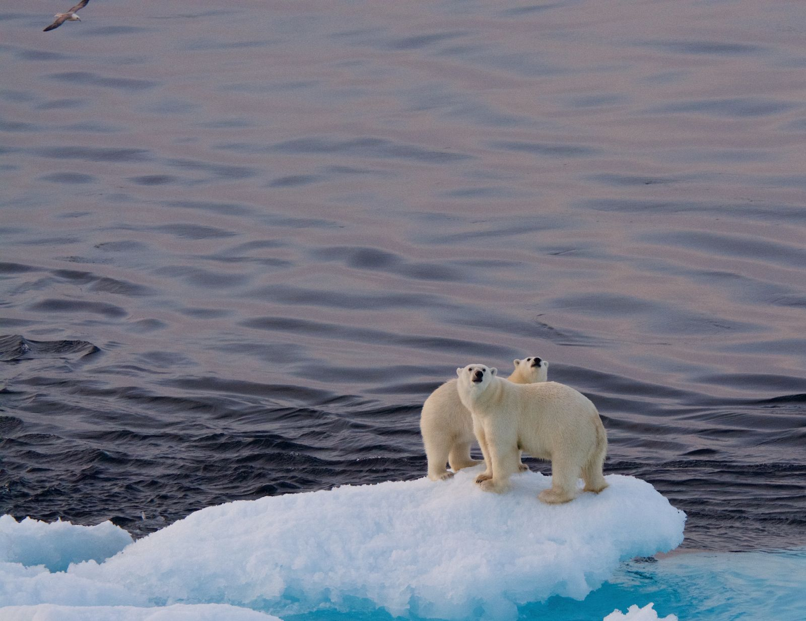 polar-bear-and-cub-looking-up-adventure-canada