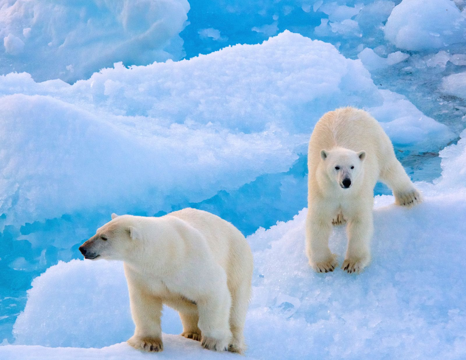 polar-bear-and-cub-walking-ice-floe-adventure-canada