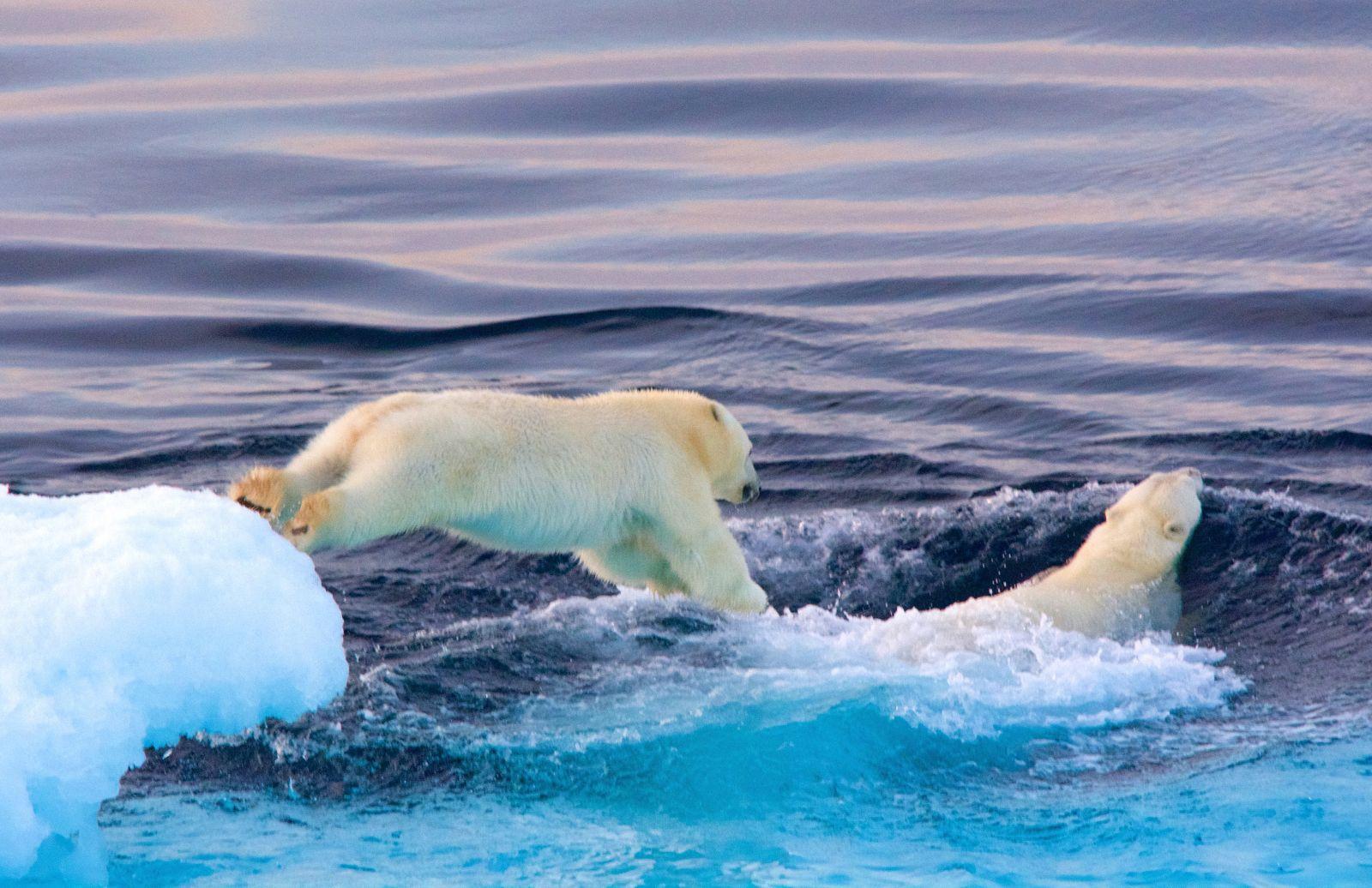 polar-bear-cub-jumping-into-hudson-strait