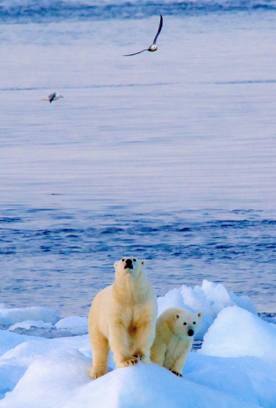 polar-bear-hudson-strait-birds-in-sky-adventure-canada