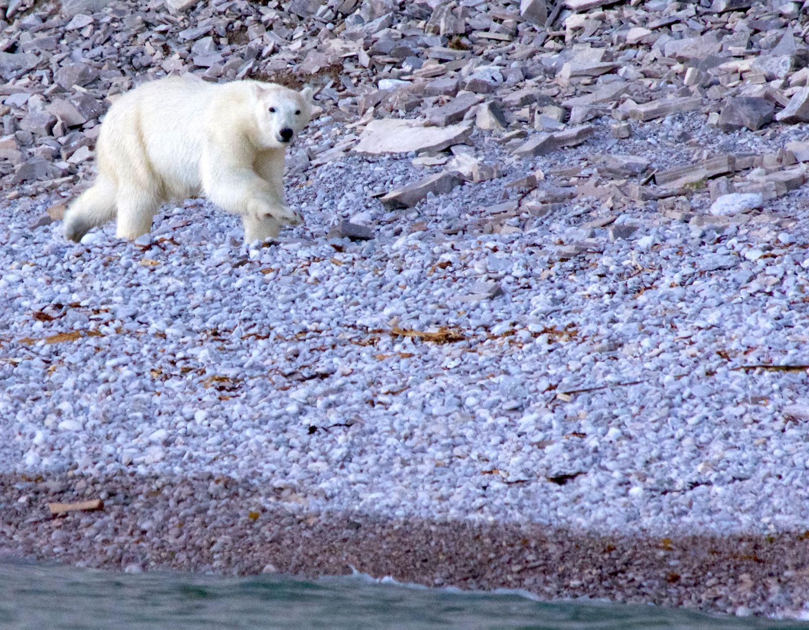polar-bear-sprinting-akpatoqat-island-nunavut