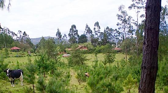 gaia-sagrada-cow-ecuador