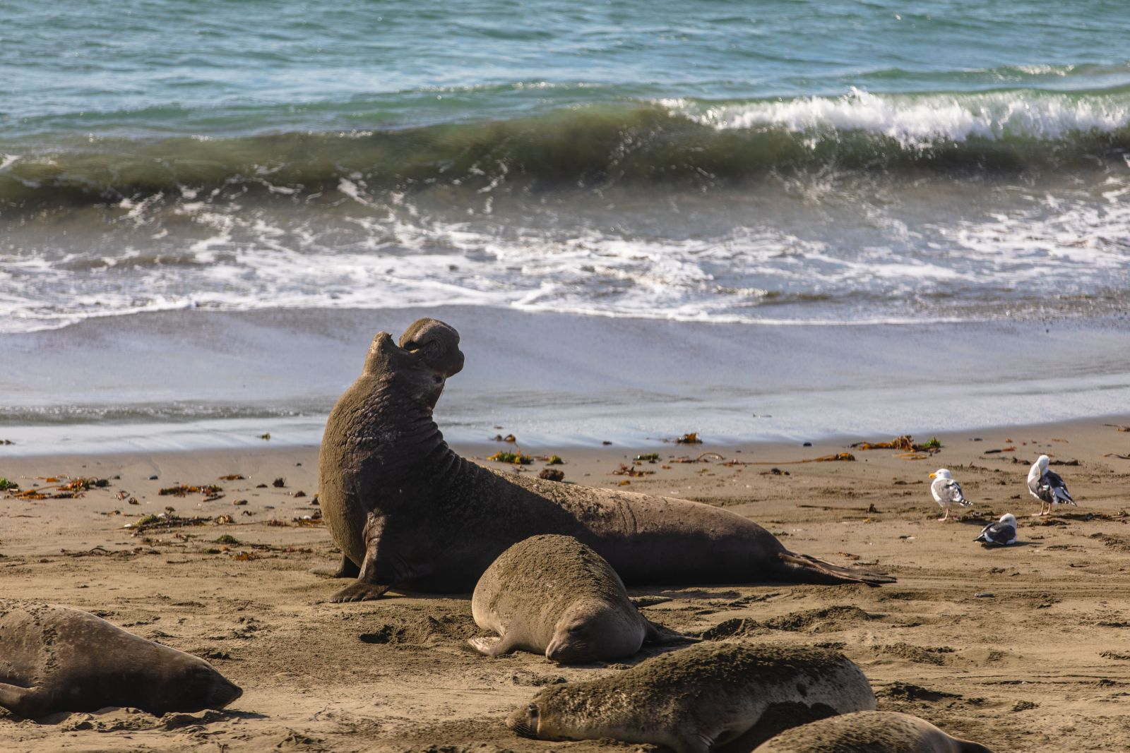 elephant-seals-california-coast