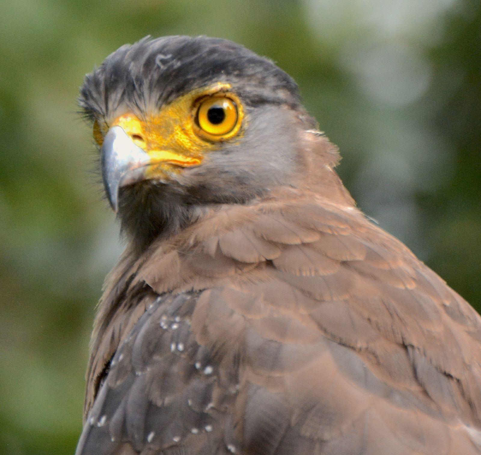 crested-serpent-eagle-one-eye-nagarahole-national-park