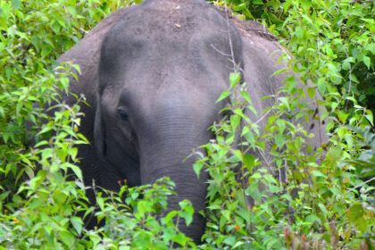 elephant-in-bush-nagarhole-national-park