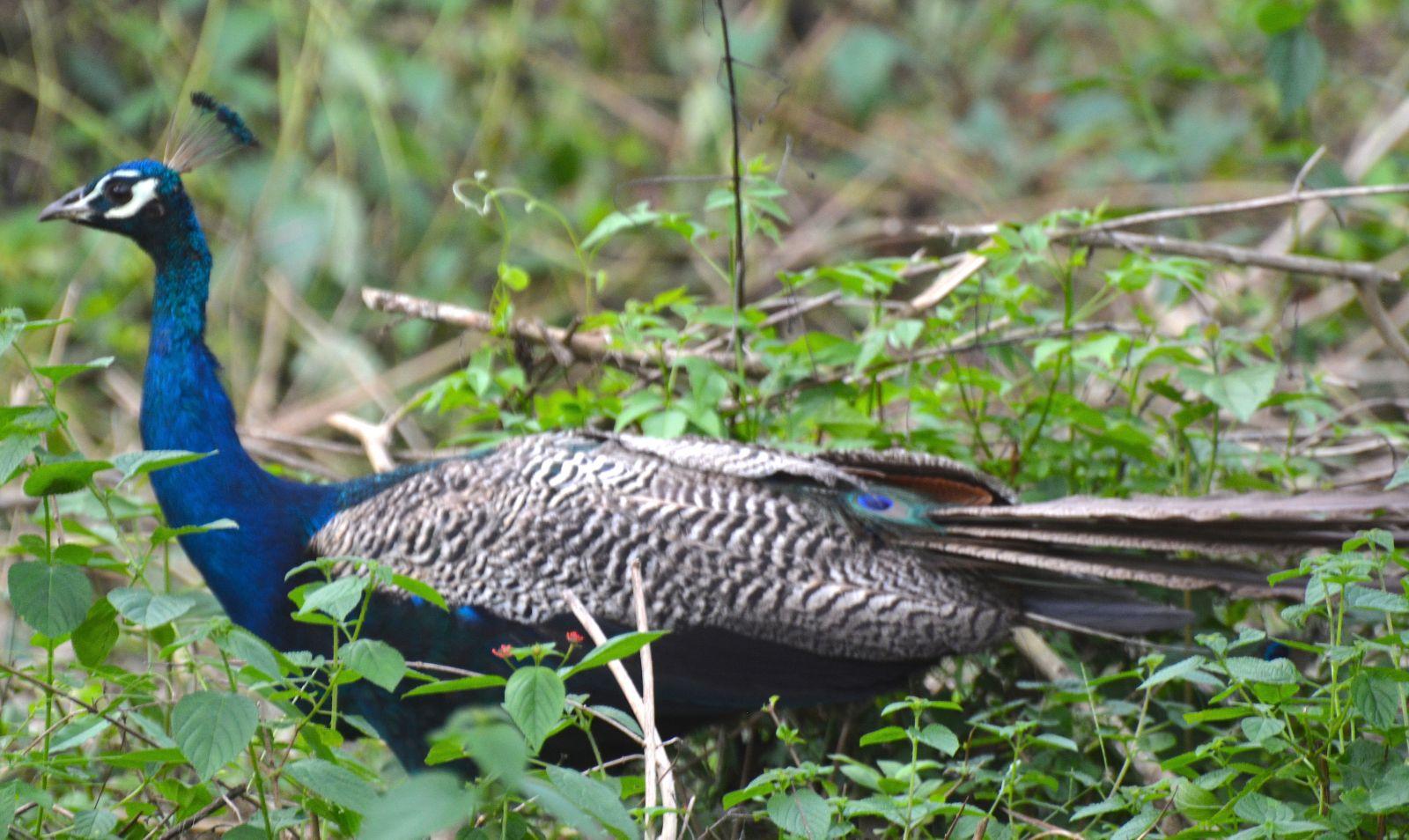 peacock-nagarahole-national-park