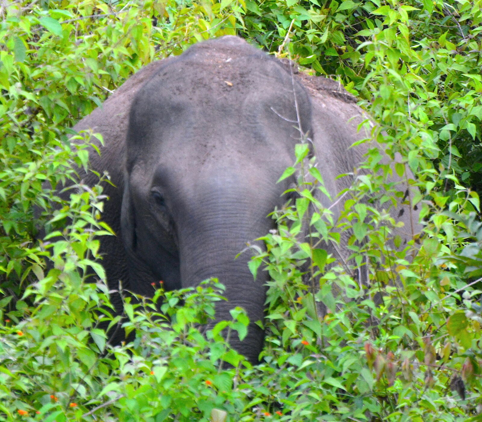elephant-in-bush-nagarahole-national-park